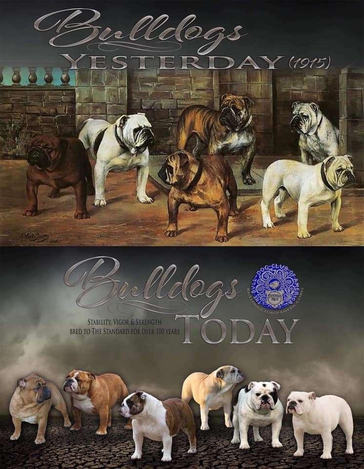 bulldog inglese ieri e oggi standard