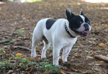 Perdita di pelo nel Bulldog Francese. I nostri consigli Dante Find the Frenchie