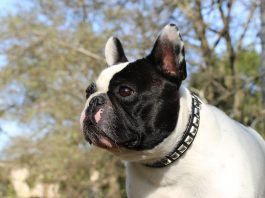 Detrazione spese veterinarie 2020 - Mia - Find the Frenchie