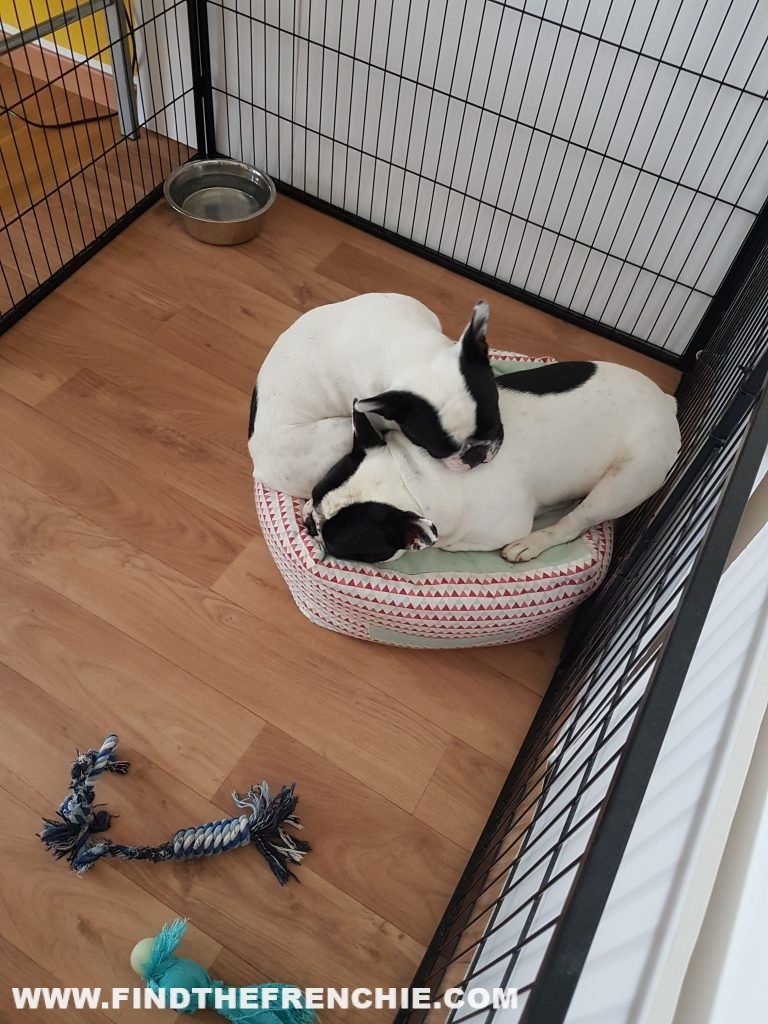 Telecamera per cuccioli Vstarcam - Find the Frenchie Dante e Mia