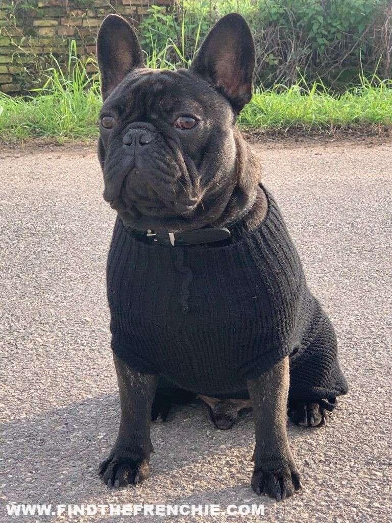 Un Bouledogue è come un figlio. Gaetano con il maglione