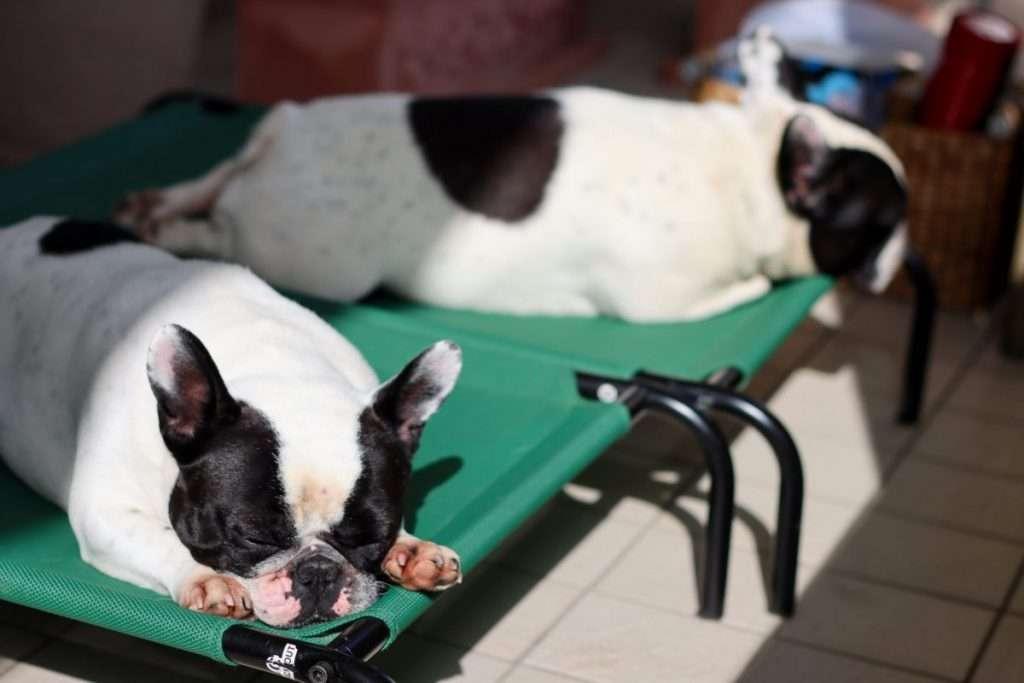 Dante e Mia dormono paciosi ai tempi del coronavirus- Find the Frenchie Blog