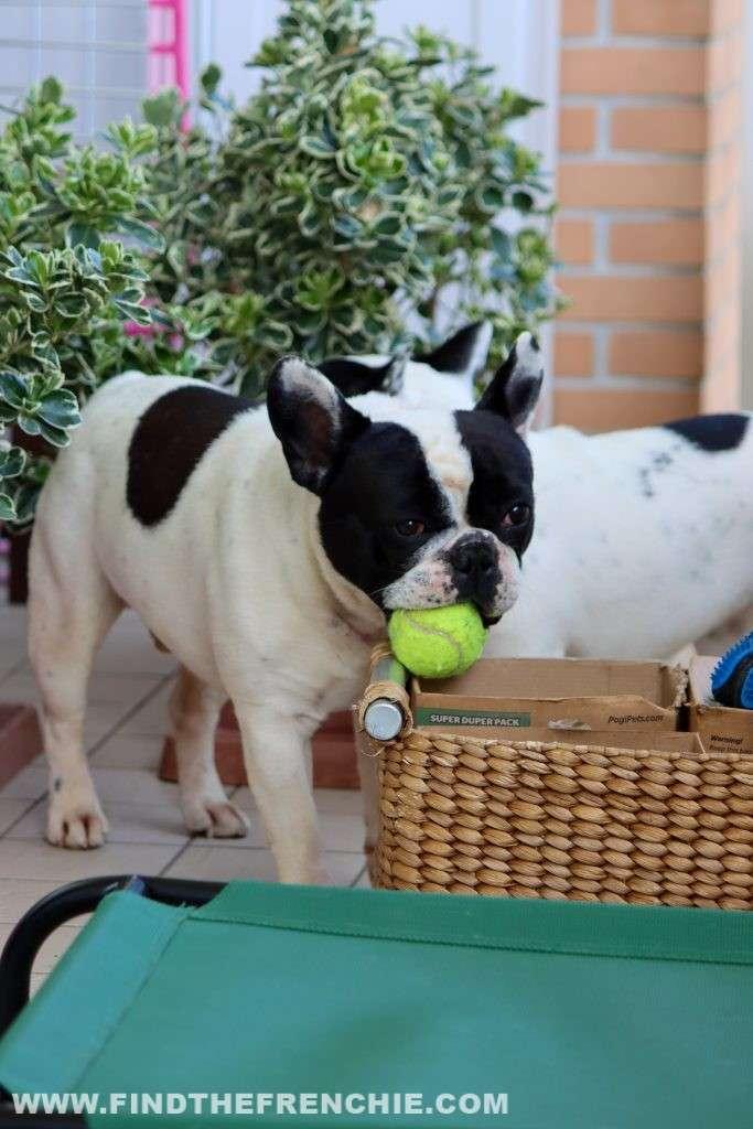 Dante gioca in terrazzo ai tempi del coronavirus -Find the Frenchie Blog