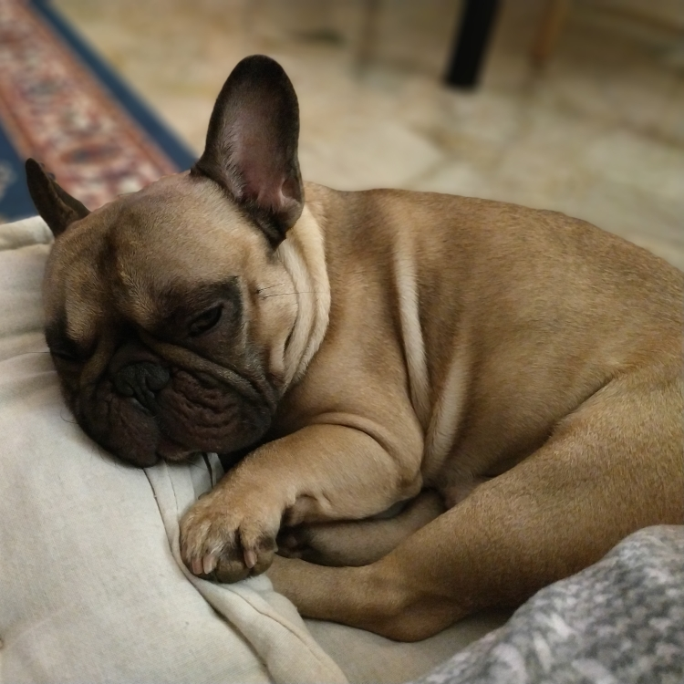 Intolleranze alimentari nel Bouledogue-Zeus-cucciolo