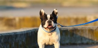 Antiparassitari per Bouledogue Francese - Dante - Find the Frenchie