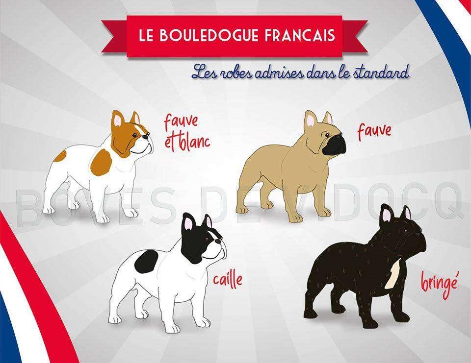 Colori Bouledogue Francese
