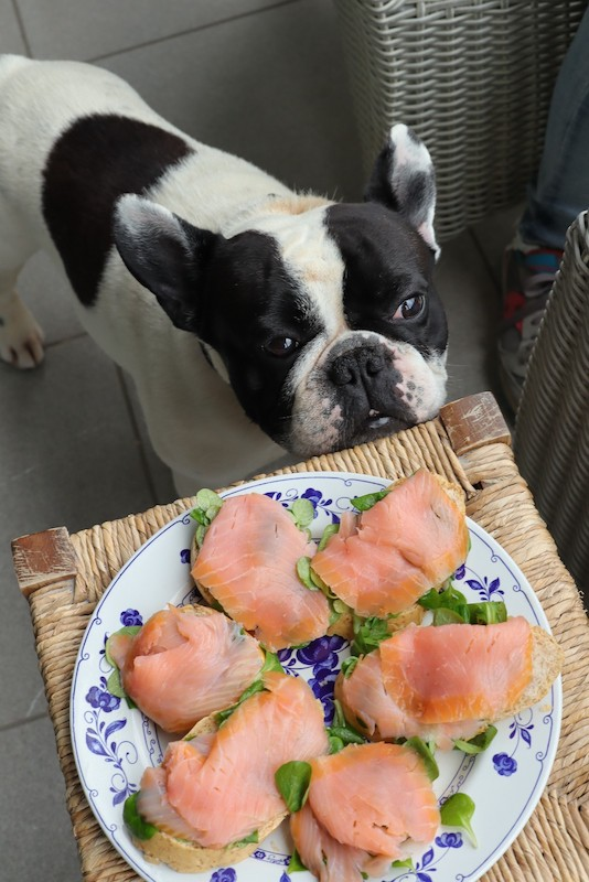 Bouledogue guarda piatto con salmone affumicato