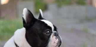 Educazione del cucciolo di Bouledogue Francese. Esperienze e consigli