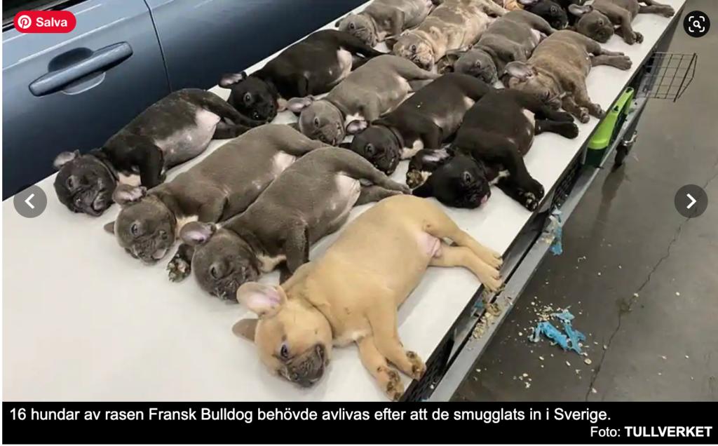 16 cuccioli simil bulldog blu soppressi dalle autorità svedesi perché soggetti malati e privi di certificazioni