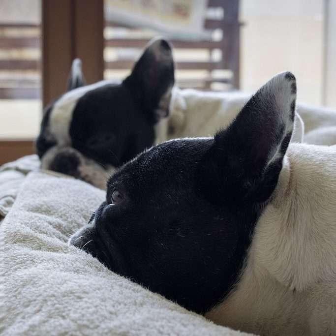 integratori dieta casalinga. Dante e Mia riposano sul cuscinone dopo il loro pasto.